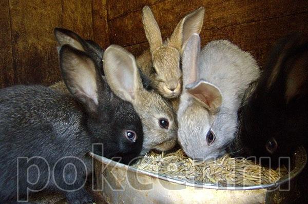 Как правильно кормить кроликов