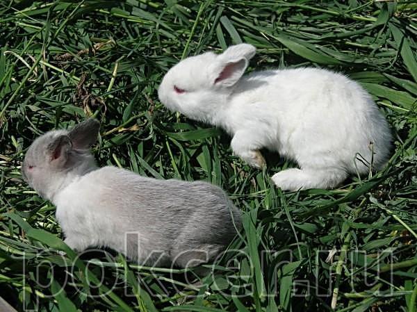 Пепельные кролики