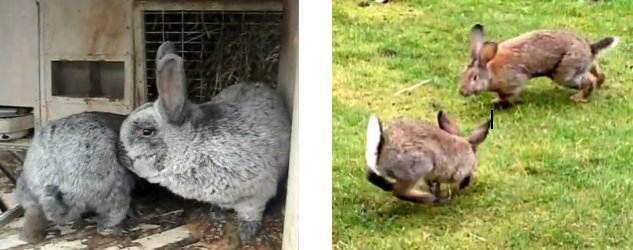 Поведение кроликов