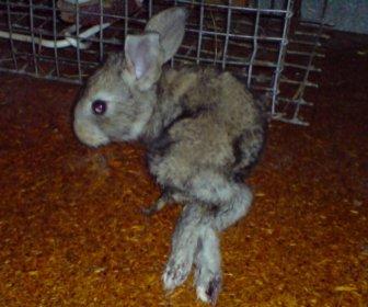 Рахит и паралич кролика
