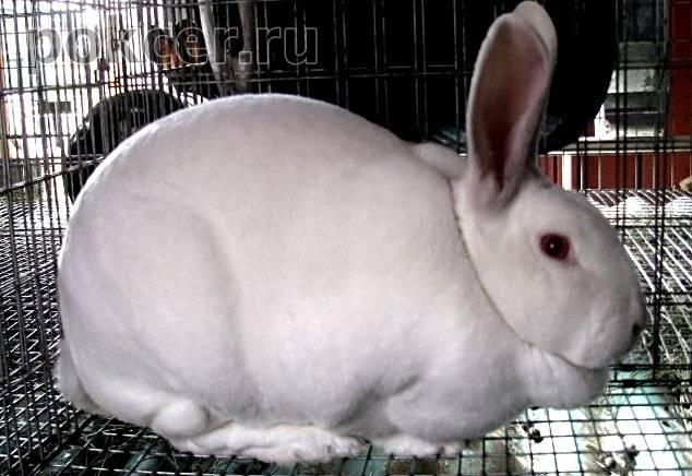 Двойной подбородок у кролика