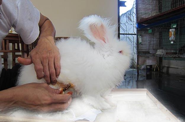 Лечение мастита у кроликов