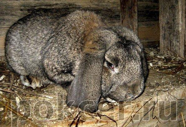 Кролик со вздутием живота