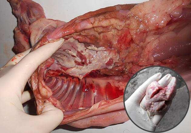 Можно ли употреблять в пищу мясо больного кролика