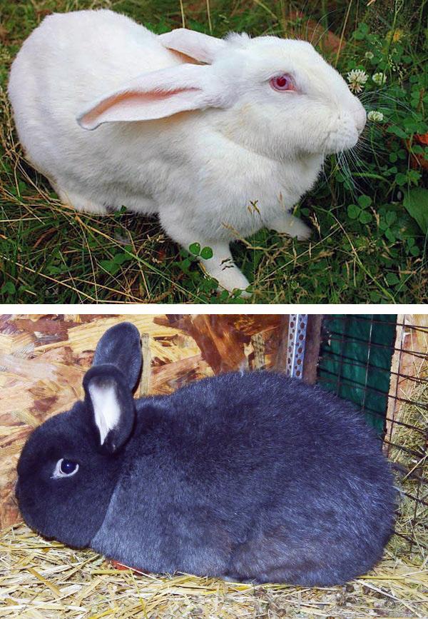Различие кроликов по конституции, Кролики