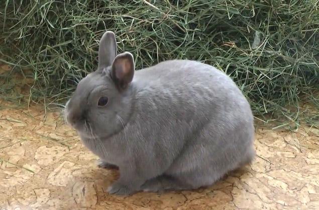 козлятник для кроликов