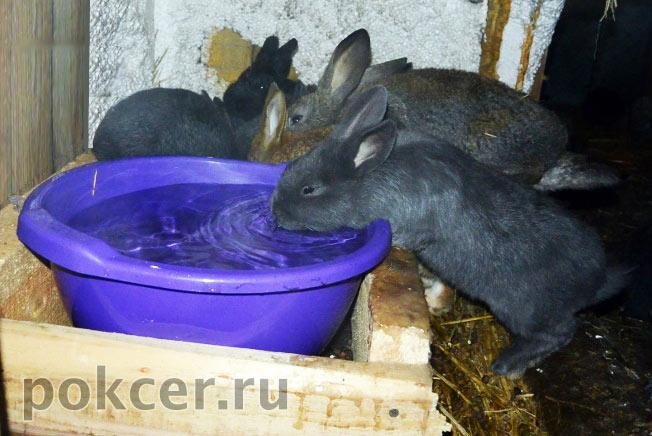 кролик пьёт